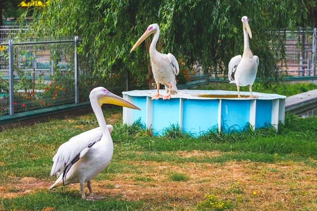 動物園の3つのペリカン。野生の自然_