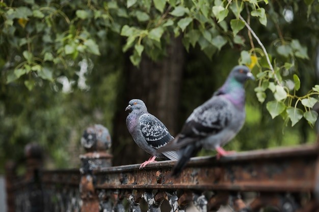 Three pigeons are sitting on a fence - a park near a green tree.