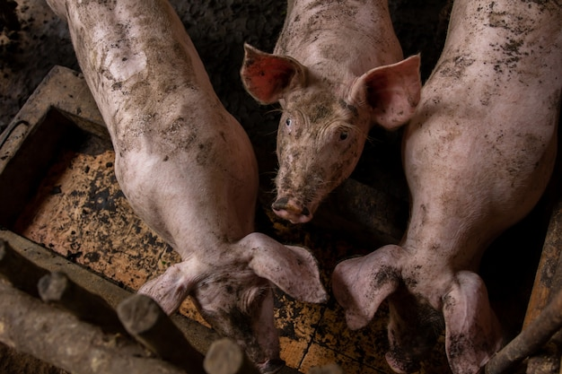 Three pigs in a dirty stall.