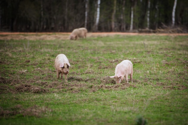 畑で餌をやる3頭の豚swinesが農場で放牧