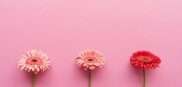 ピンクの背景に生の3つのピンクと赤のガーベラ。シーケンスと対称性。ミニマルなデザインのフラットレイ。パステルカラー