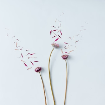 Three pink flowers with petals blown off on white wall. flat lay.