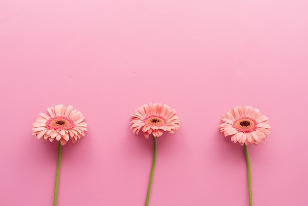 ピンクの背景に生の3つのピンクのガーベラデイジー。シーケンスと対称性。ミニマルなデザインのフラットレイ。パステルカラー