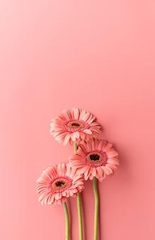 분홍색 배경에 3개의 분홍색 gerbera 데이지입니다. 최소한의 디자인 플랫 레이. 파스텔 색상
