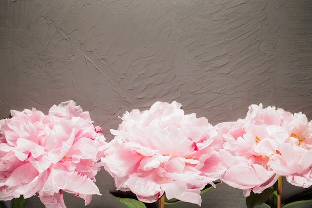 Three pink peonies on a gray background in the bottom row of the frame