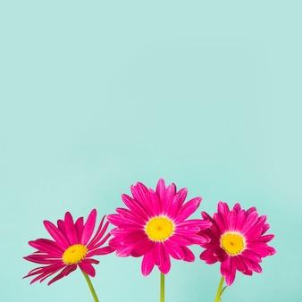 Three pink pyrethrum flowers on blue background.