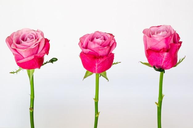 Три розовых розы, изолированные на белом фоне.