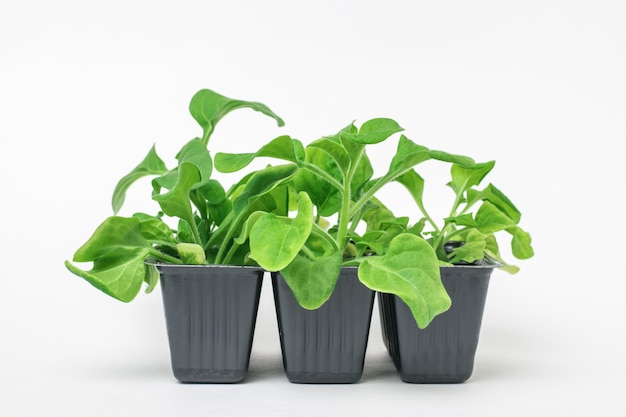 花の苗が付いている3つのプラスチック製の鍋。家で植物を育てる。