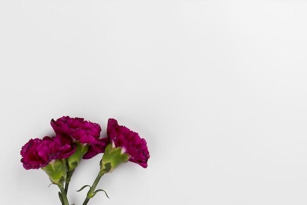 Three plum carnations