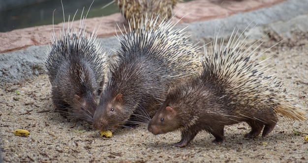 Three porcupines with food