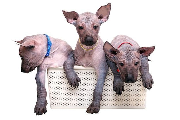 바구니에 앉아 컬러 고리에 세 강아지 멕시코 벌 거 벗은 개. 흰색 배경에 고립.