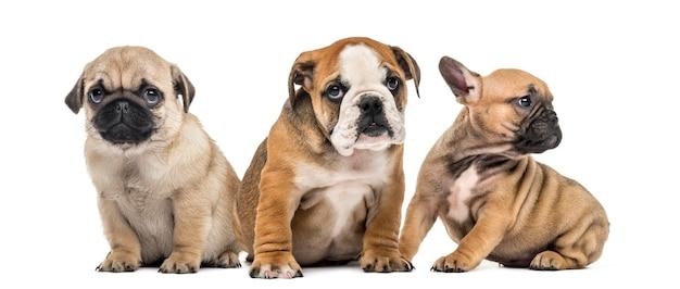 白で隔離された3匹の子犬が並んでいます
