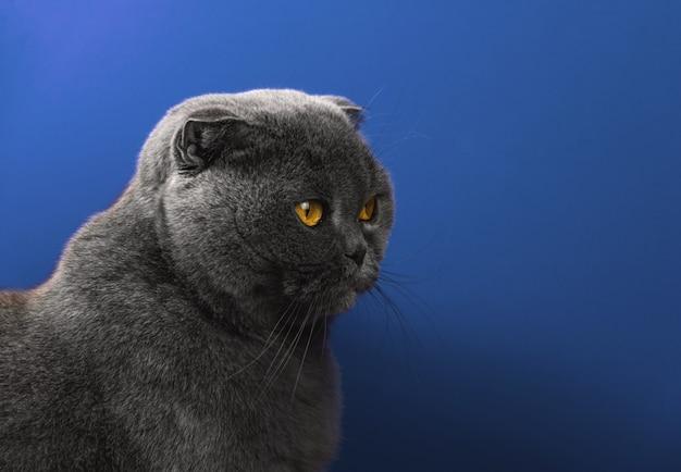 파란색으로 격리된 배경에 스코티시 폴드 고양이의 4분의 3 초상화, 복사 공간 사진
