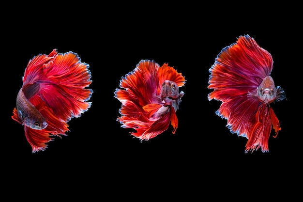 Three red halfmoon betta fish dancing in the water with different movement, siamese fighting fish isolated on black background. hdr processed