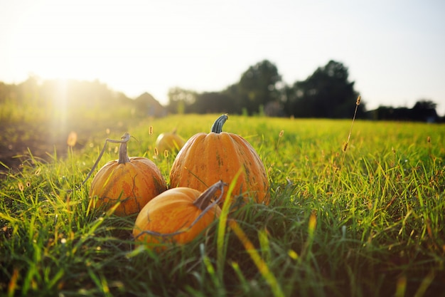 Three ripe pumpkins on a background of a kitchen garden
