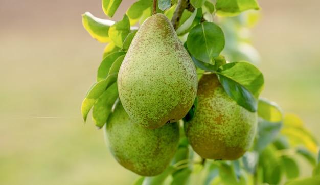 Три спелых желтых сочных груши на дереве.