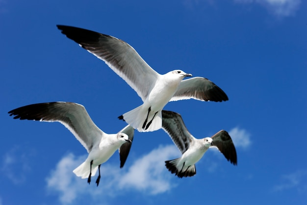 メキシコの青い空を飛んでいる3つのカモメ
