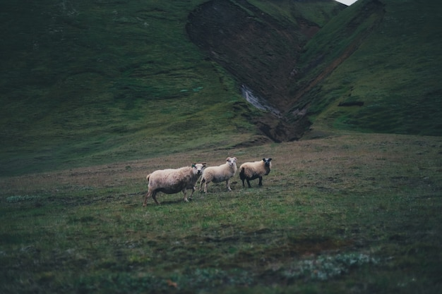 Three sheep standing in the green hills on a gloomy day