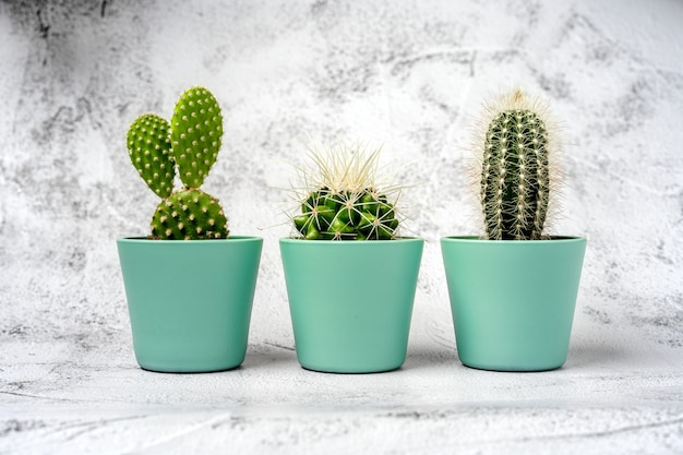 Three small cactuses stand in a row on a stone table