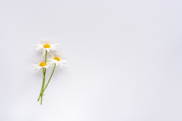 Three small chamomile flowers on a white background