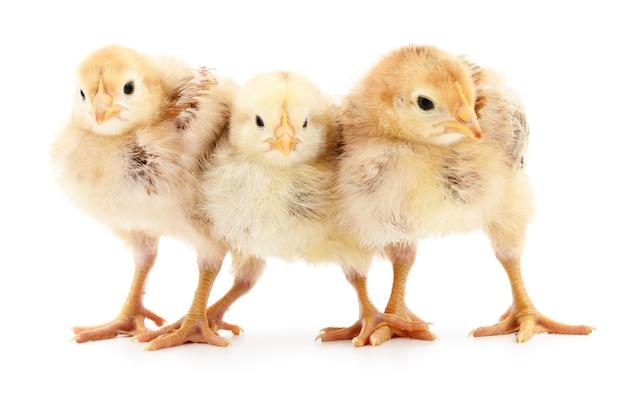 白い背景で隔離の3つの小さな鶏。