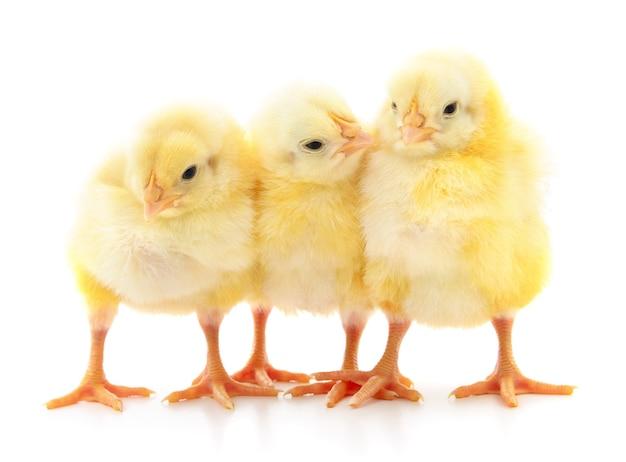 Три маленьких цыпленка, изолированные на белом фоне.