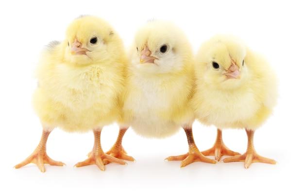 分離された3羽の小さな鶏