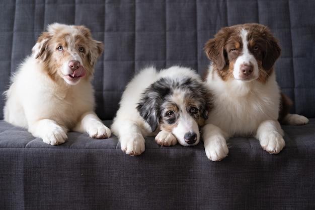 Три маленьких милых щенка австралийской овчарки красный мерль. три цвета. братья и сестры. лучшие друзья. облизывая нос. лежа на диване-кушетке.