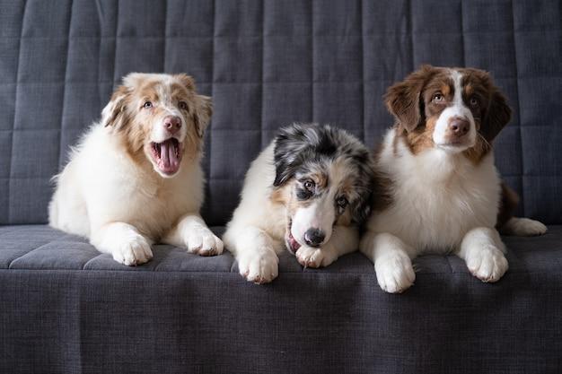 3 개의 작은 귀여운 호주 셰퍼드 빨간색 멀 강아지. 세 가지 색상. 형제 자매. 가장 친한 친구. 입을 벌리십시오. 소파 소파에 누워.