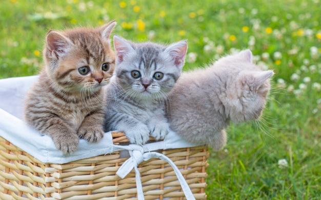 夏の緑の草の上の3つの小さな灰色の縞模様の英国の子猫