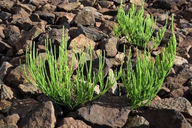 Three small green plants without flowers grow between scattered stones