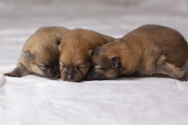 눈을 감은 작은 주황색 포메라니안 강아지 세 마리가 코를 코에 눕습니다.