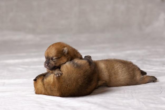 눈을 뜨지 않은 작은 주황색 포메라니안 강아지 세 마리가 기저귀에 기어갑니다.