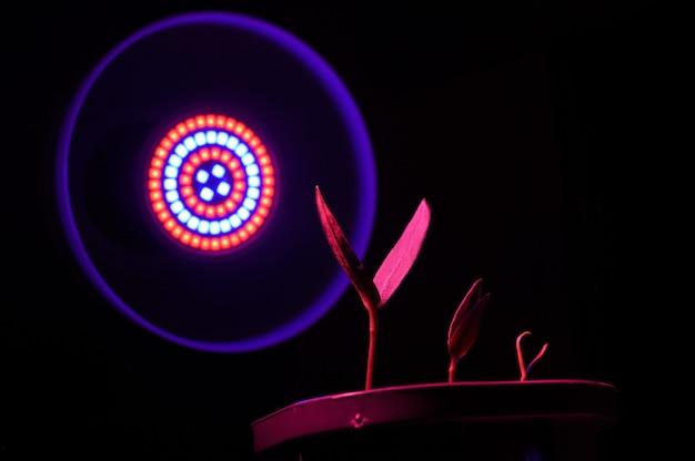 植物ランプに照らして鍋に3つの小さな芽。閉じる。