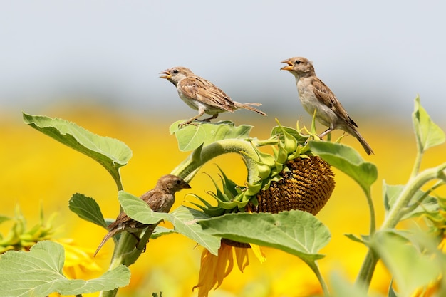 해바라기에 세 참새