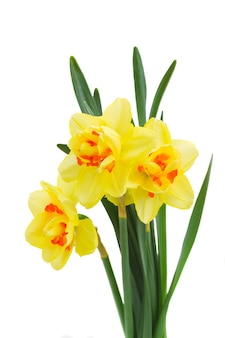 Three spring yellow narcissus isolated on white background