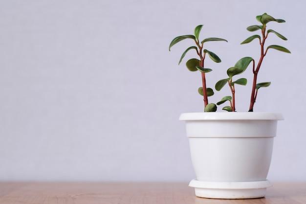 小さな多肉植物の3つの茎