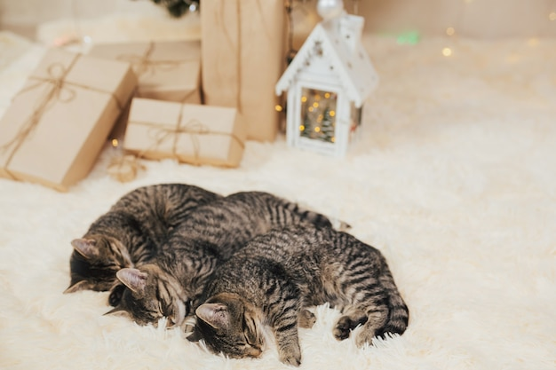 隣同士で寝ている3匹の縞模様の子猫