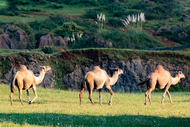 Three sunny dromedaries walking