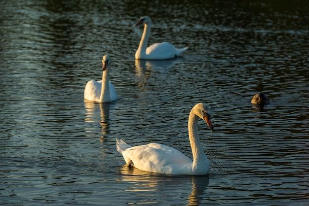 三羽の白鳥が水の中を泳ぐ、水鳥の白鳥の家族