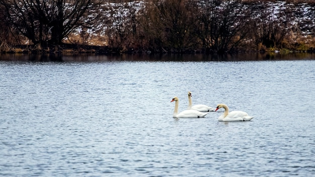 寒い秋の川で泳ぐ 3 羽の白鳥