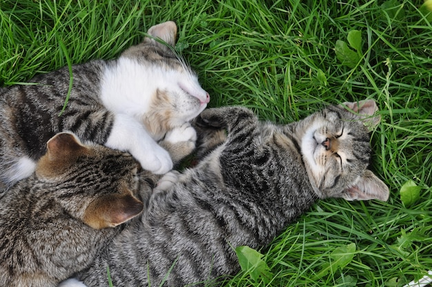 Three tabby cats are sleeping on the grass in love