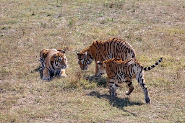 Три тигра в парке. один лежит на траве. одно того стоит. один бежит.