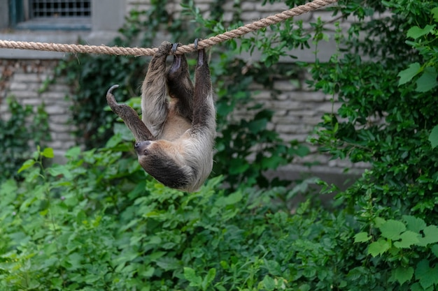 Three-toed sloth hanging on a rope surrounded by greenery in a forest