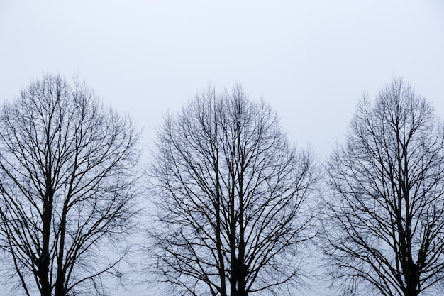 Three trees without leaves against sky. silhouette of trees with naked branches on white background. sad autumn time.