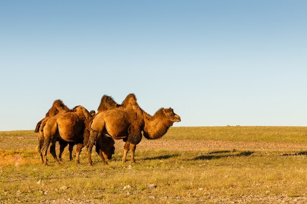 Three two-humped camels