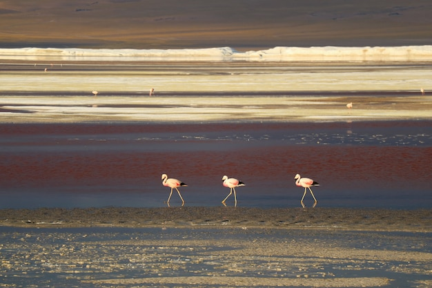 Three walking pink flamingos with many others in distance, laguna colorada