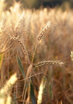 Три колоски пшеницы на поле летом