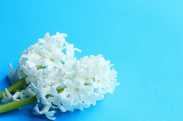 青の緑の茎と3つの白い花ヒヤシンス