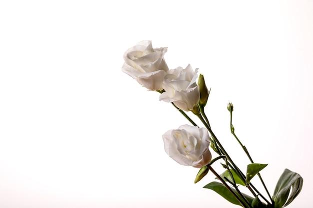 Три белые свежие розы на белом фоне.